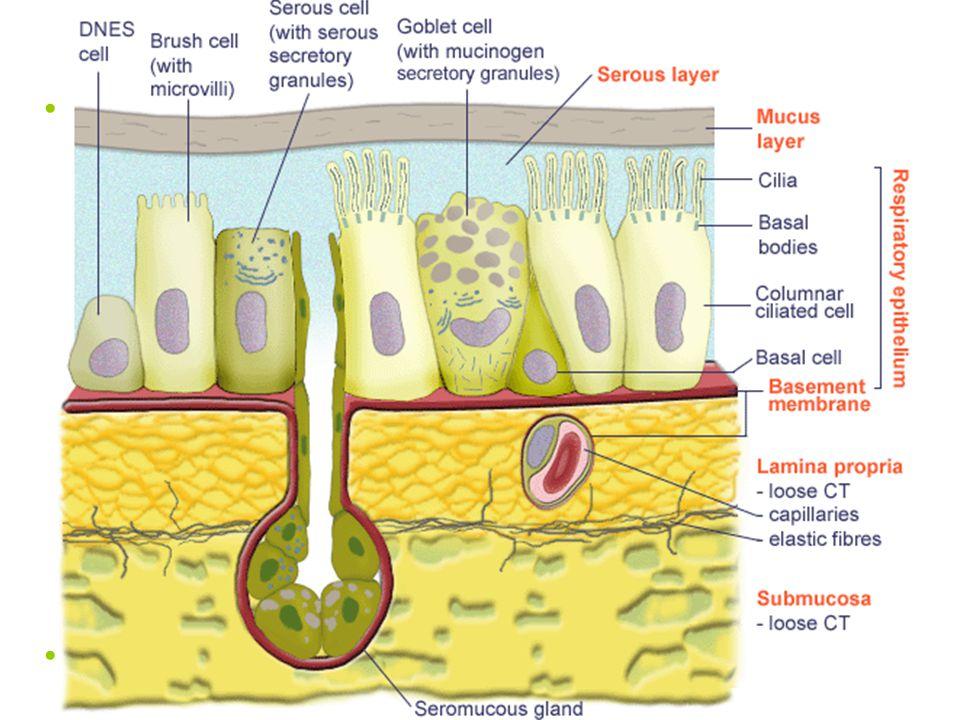 Epitel dýchacích cest víceřadý cylindrický s řasinkami (epithelium pseudostratificatum columnare ciliatum)