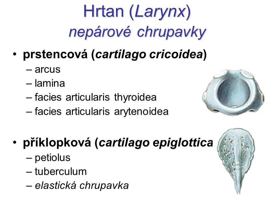 Hrtan (Larynx) nepárové chrupavky