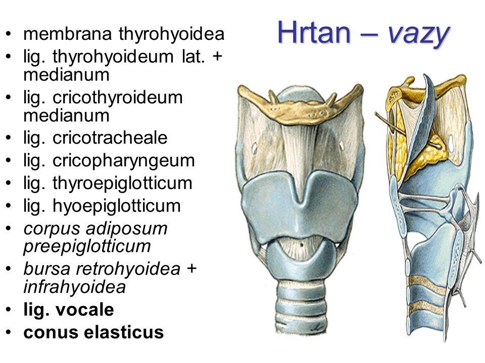 Hrtan – vazy membrana thyrohyoidea lig. thyrohyoideum lat. + medianum