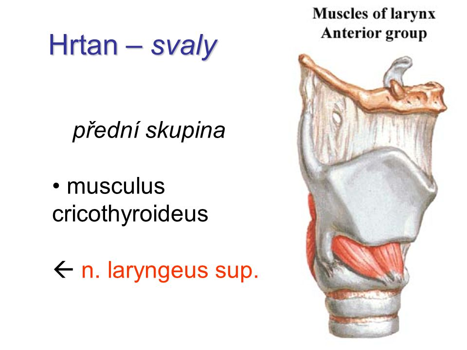 Hrtan – svaly přední skupina musculus cricothyroideus