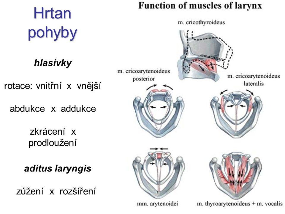Hrtan pohyby hlasivky rotace: vnitřní x vnější abdukce x addukce