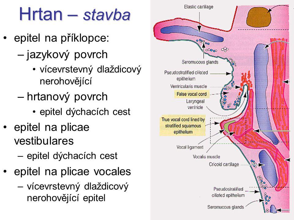 Hrtan – stavba epitel na příklopce: jazykový povrch hrtanový povrch