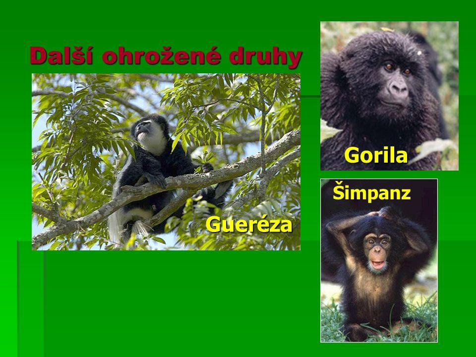 Další ohrožené druhy Gorila Šimpanz Gueréza