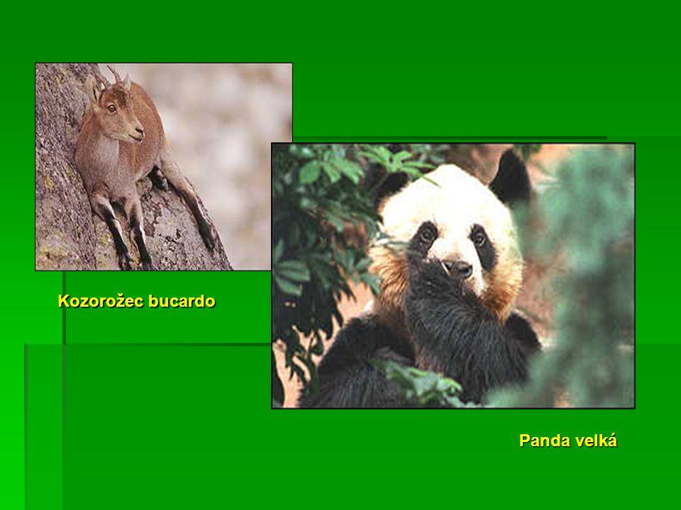 Kozorožec bucardo Panda velká