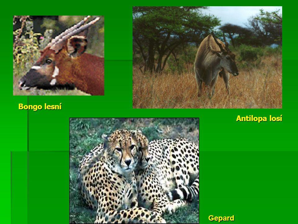 Bongo lesní Antilopa losí Gepard