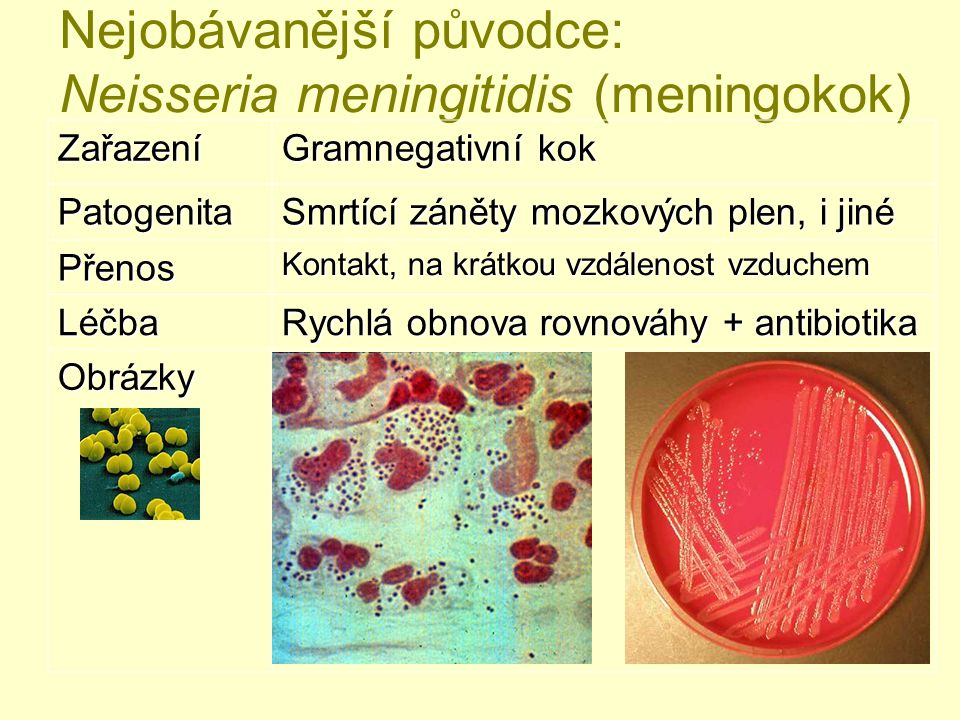 Nejobávanější původce: Neisseria meningitidis (meningokok)