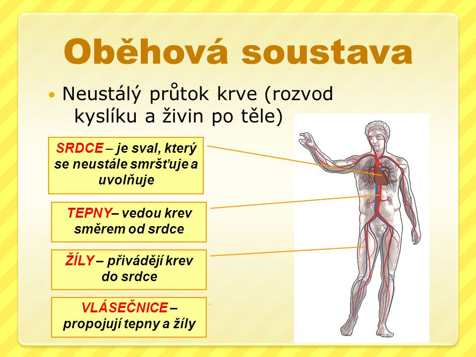 Oběhová soustava Neustálý průtok krve (rozvod kyslíku a živin po těle)