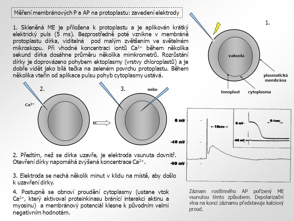 Měření membránových P a AP na protoplastu: zavedení elektrody