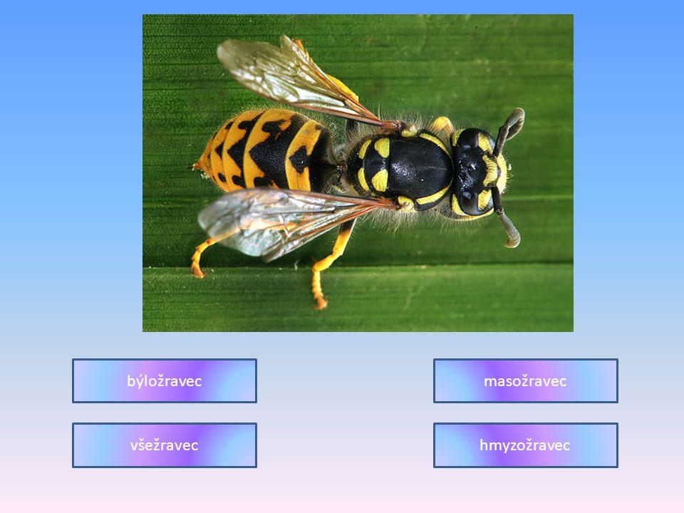 býložravec masožravec všežravec hmyzožravec