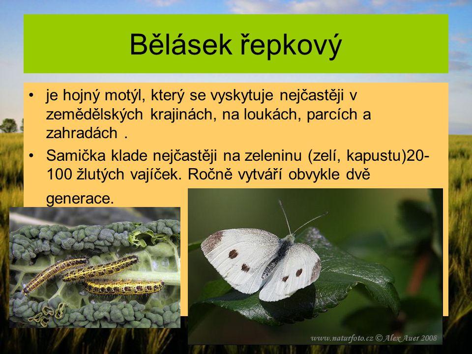 Bělásek řepkový je hojný motýl, který se vyskytuje nejčastěji v zemědělských krajinách, na loukách, parcích a zahradách .
