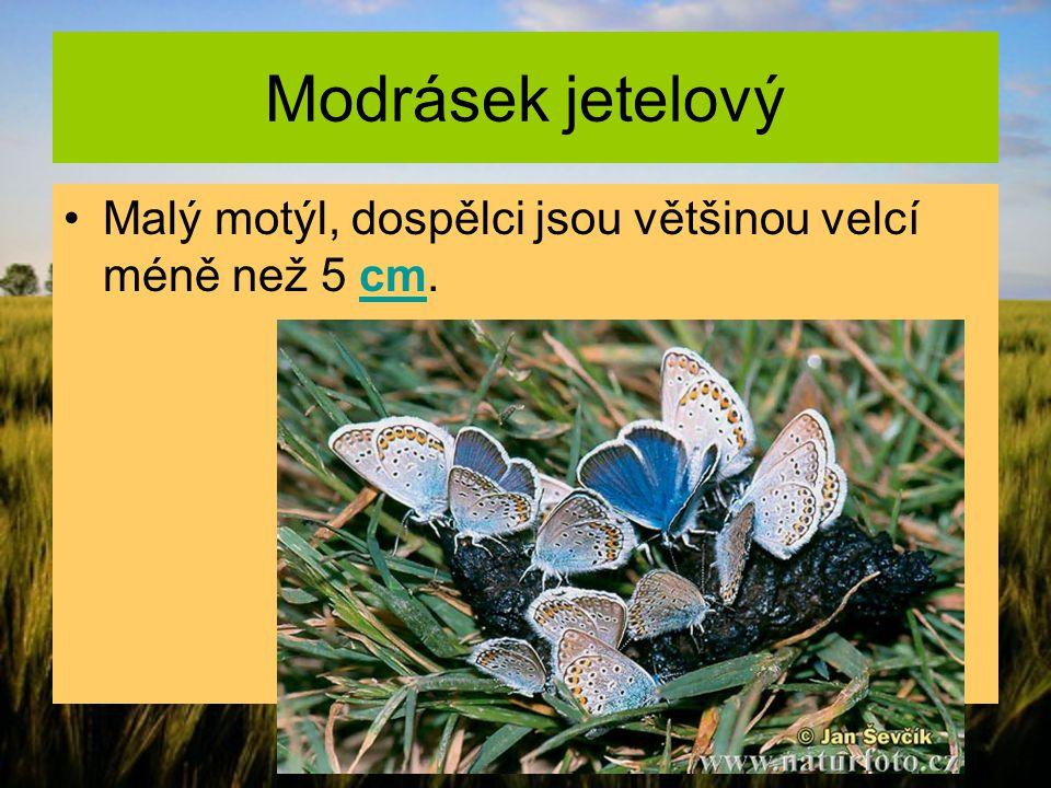 Modrásek jetelový Malý motýl, dospělci jsou většinou velcí méně než 5 cm.