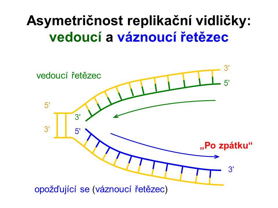 Asymetričnost replikační vidličky: vedoucí a váznoucí řetězec