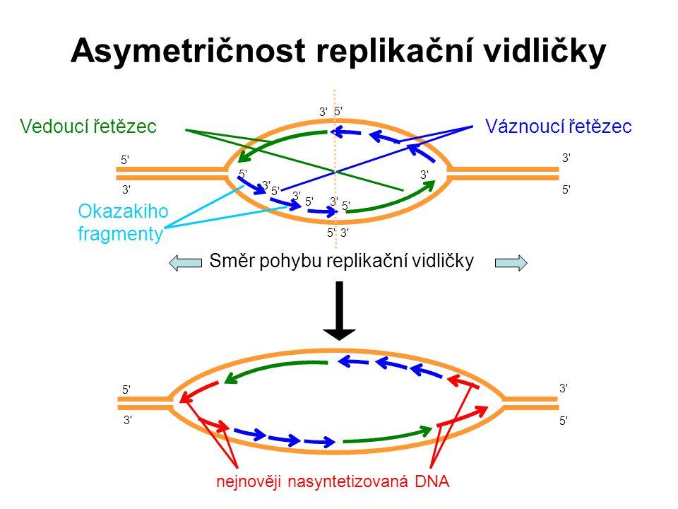 Asymetričnost replikační vidličky