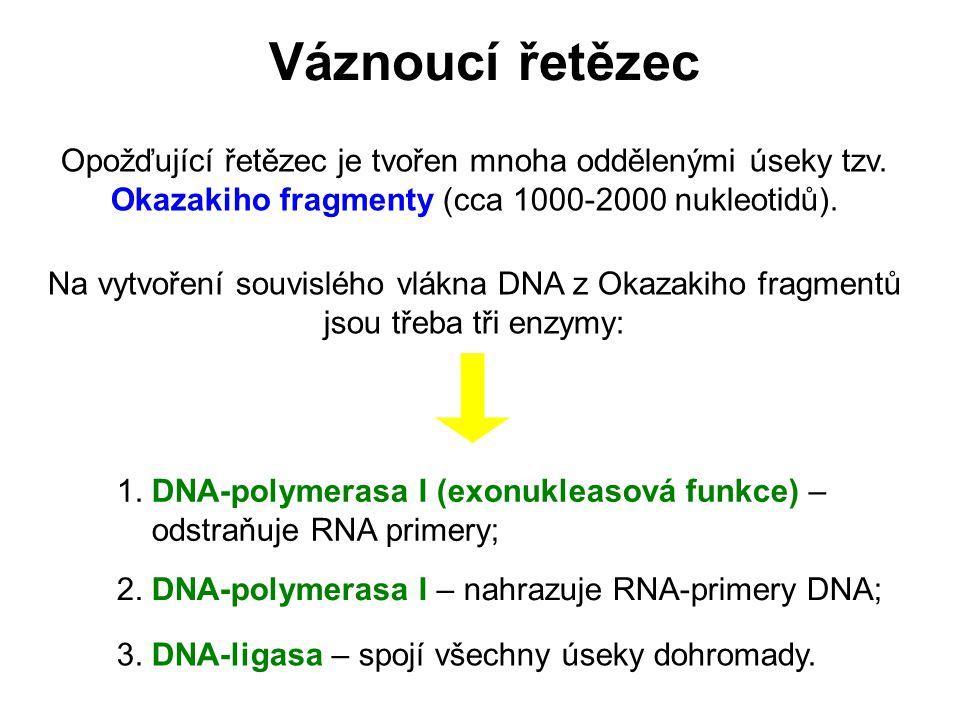 Váznoucí řetězec Opožďující řetězec je tvořen mnoha oddělenými úseky tzv. Okazakiho fragmenty (cca 1000-2000 nukleotidů).