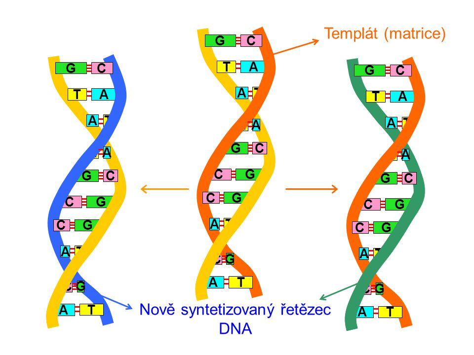 Nově syntetizovaný řetězec DNA