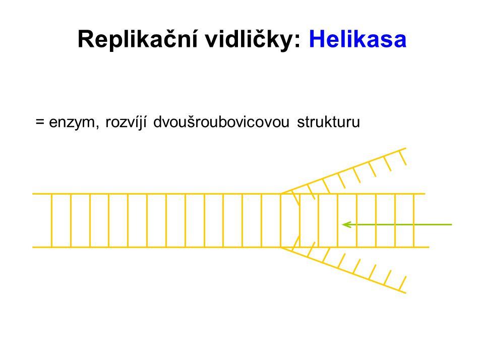 Replikační vidličky: Helikasa