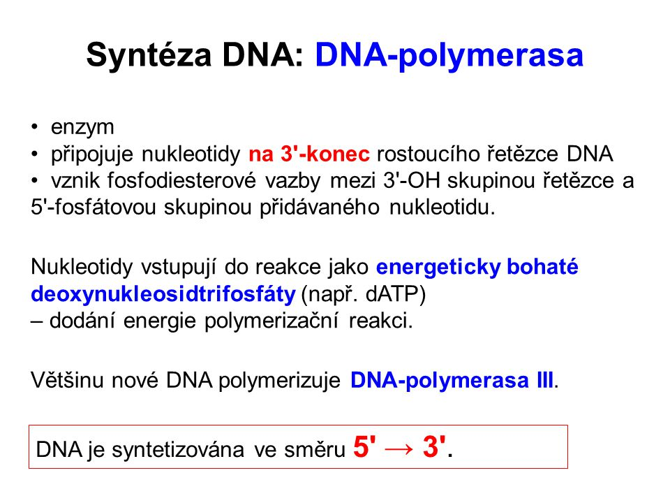 Syntéza DNA: DNA-polymerasa