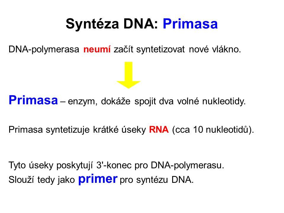 Syntéza DNA: Primasa DNA-polymerasa neumí začít syntetizovat nové vlákno. Primasa – enzym, dokáže spojit dva volné nukleotidy.