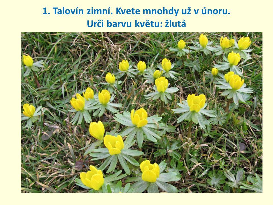 1. Talovín zimní. Kvete mnohdy už v únoru