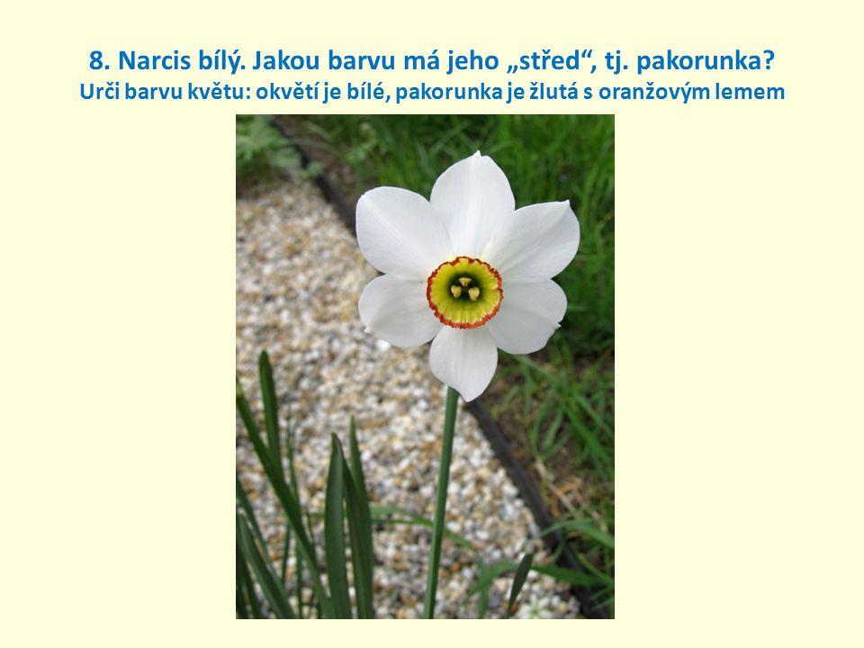 """8. Narcis bílý. Jakou barvu má jeho """"střed , tj. pakorunka"""