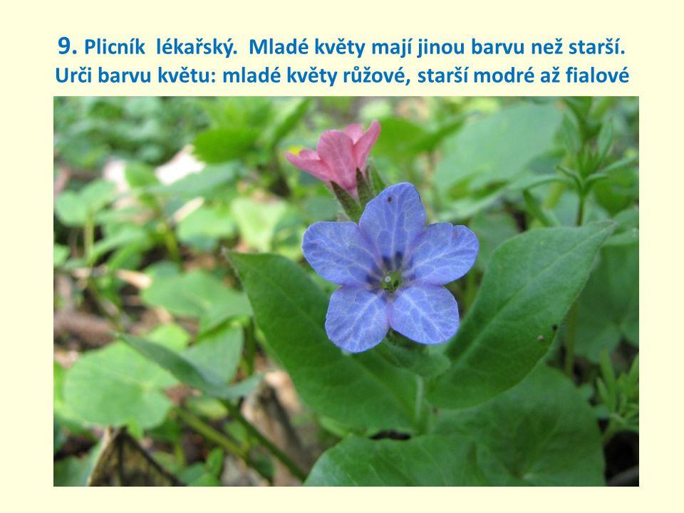 9. Plicník lékařský. Mladé květy mají jinou barvu než starší
