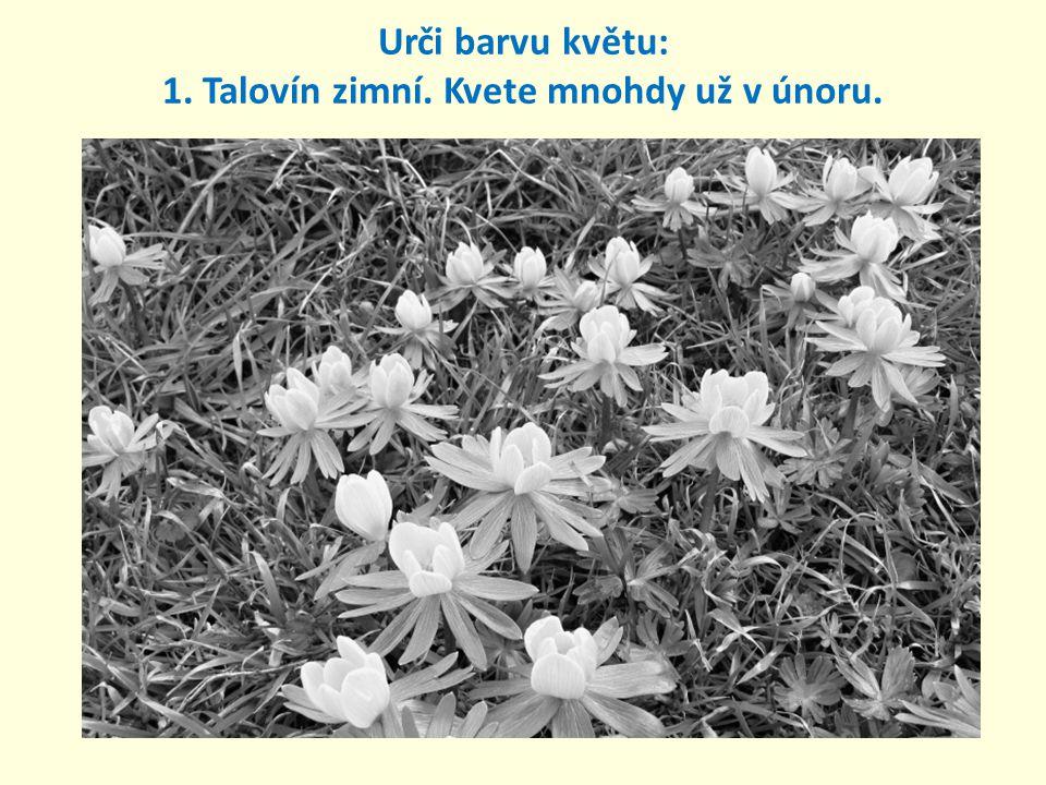 Urči barvu květu: 1. Talovín zimní. Kvete mnohdy už v únoru.