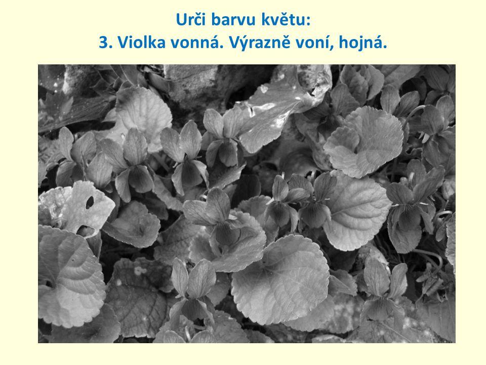 Urči barvu květu: 3. Violka vonná. Výrazně voní, hojná.