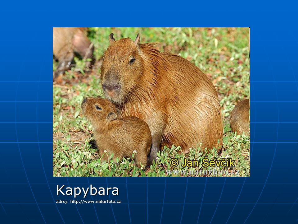 Kapybara Zdroj: http://www.naturfoto.cz