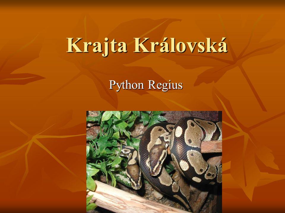 Krajta Královská Python Regius