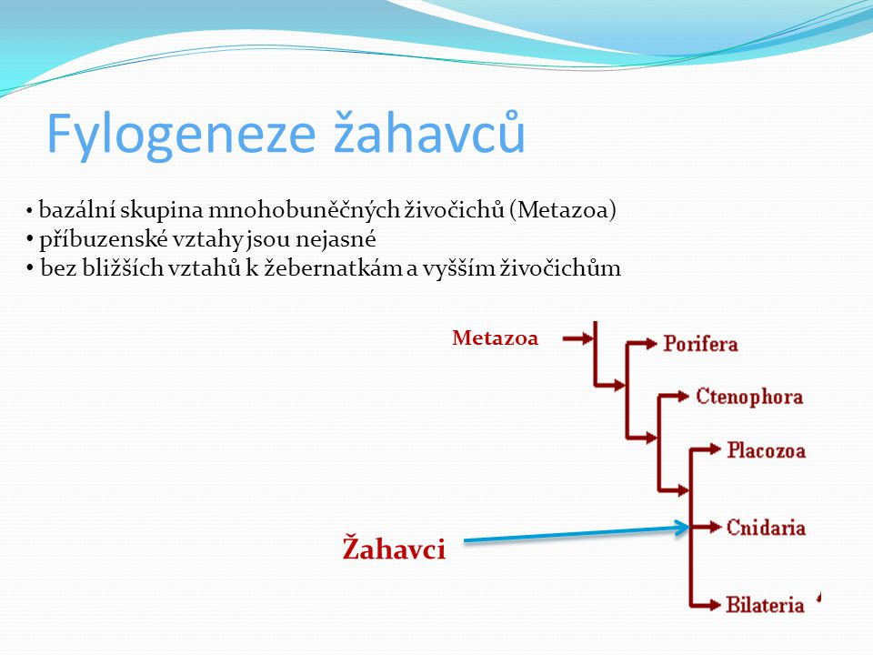 Fylogeneze žahavců Žahavci příbuzenské vztahy jsou nejasné