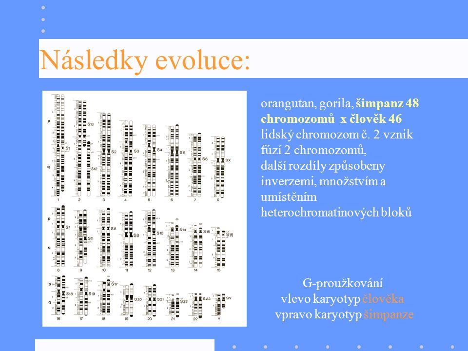 Následky evoluce: orangutan, gorila, šimpanz 48 chromozomů x člověk 46 lidský chromozom č. 2 vznik fúzí 2 chromozomů,