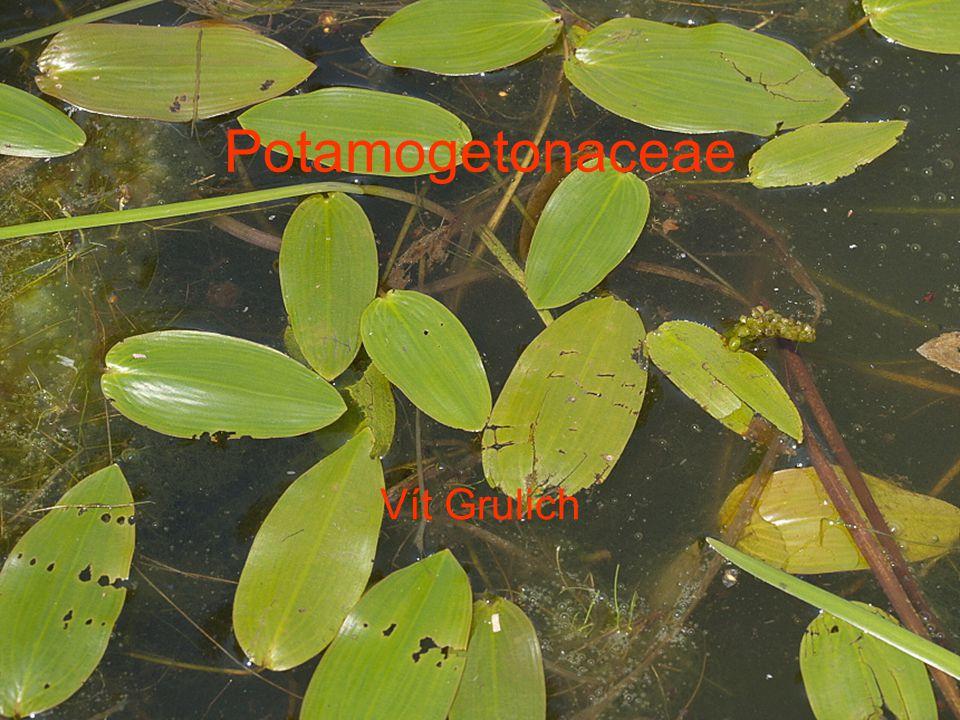 Potamogetonaceae Vít Grulich