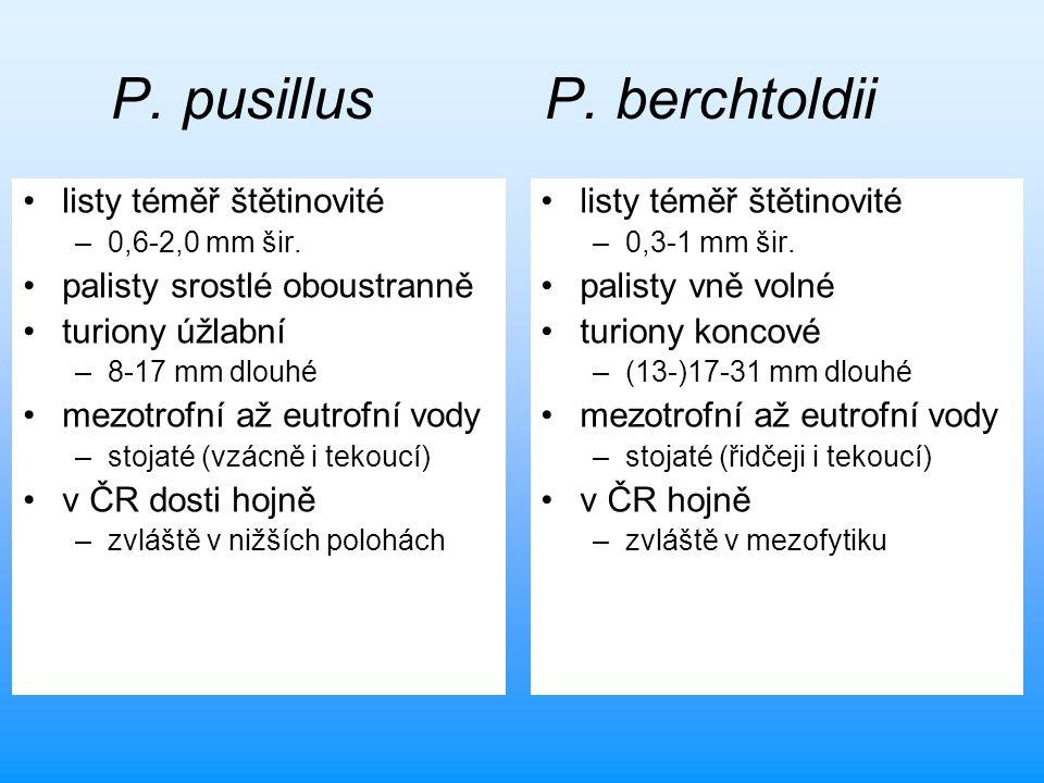 P. pusillus P. berchtoldii