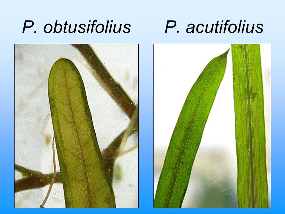 P. obtusifolius P. acutifolius