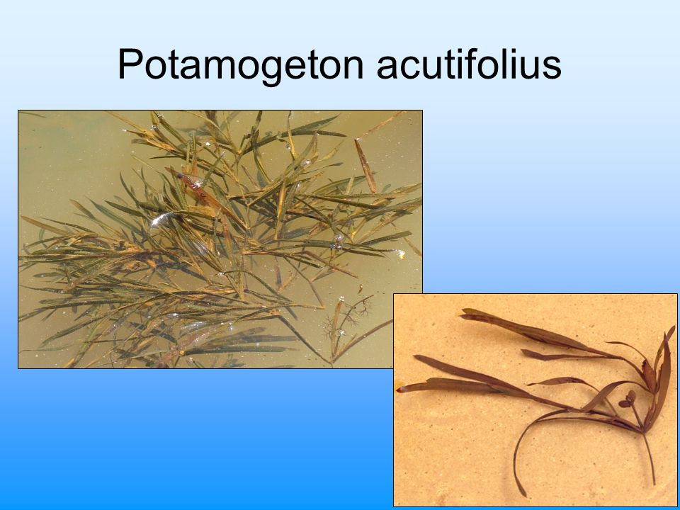 Potamogeton acutifolius