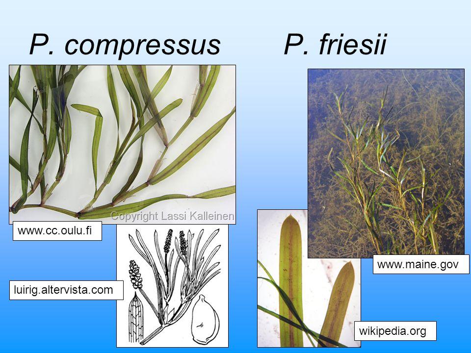 P. compressus P. friesii www.cc.oulu.fi www.maine.gov