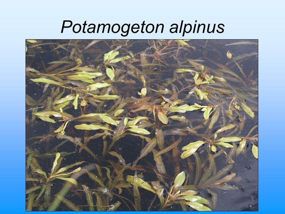 Potamogeton alpinus