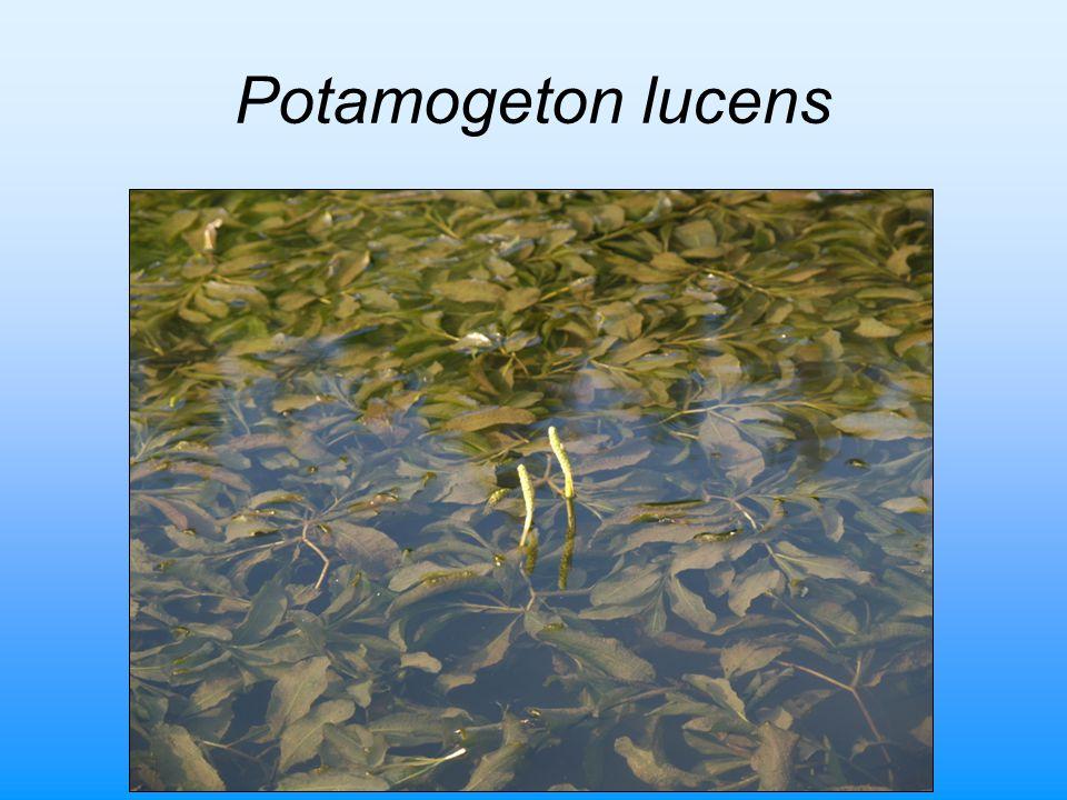 Potamogeton lucens