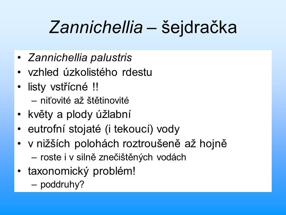 Zannichellia – šejdračka