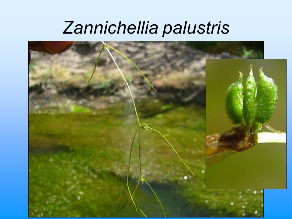Zannichellia palustris