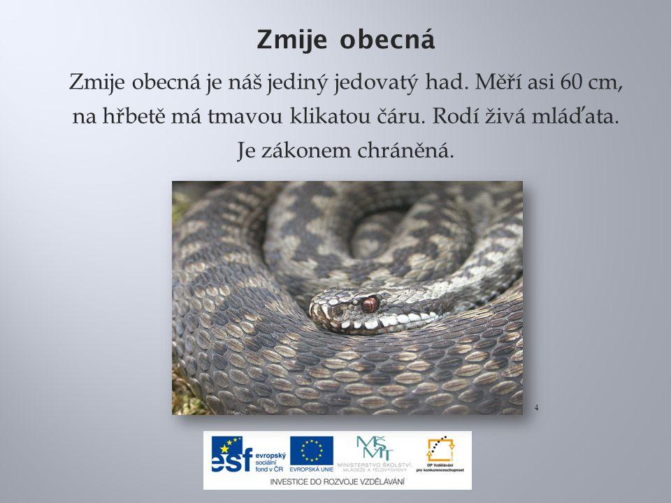 Zmije obecná Zmije obecná je náš jediný jedovatý had. Měří asi 60 cm, na hřbetě má tmavou klikatou čáru. Rodí živá mláďata. Je zákonem chráněná.