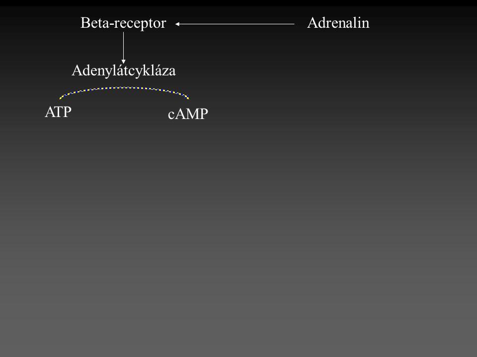 Beta-receptor Adrenalin Adenylátcykláza ATP cAMP