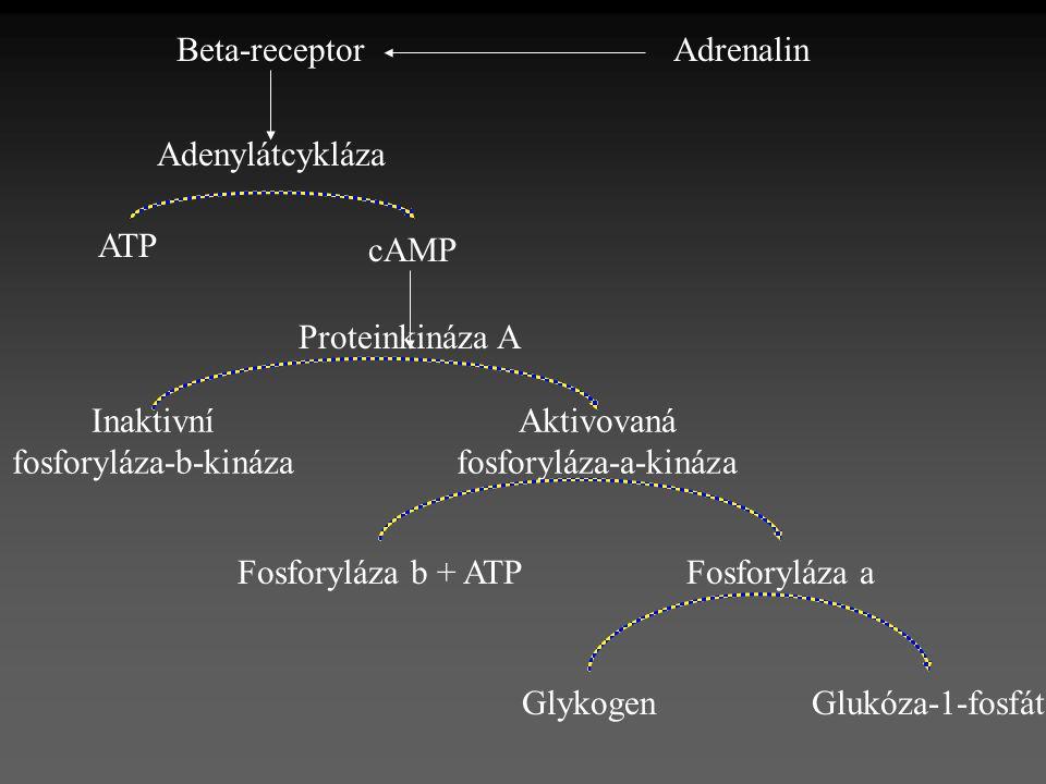 fosforyláza-b-kináza Aktivovaná fosforyláza-a-kináza