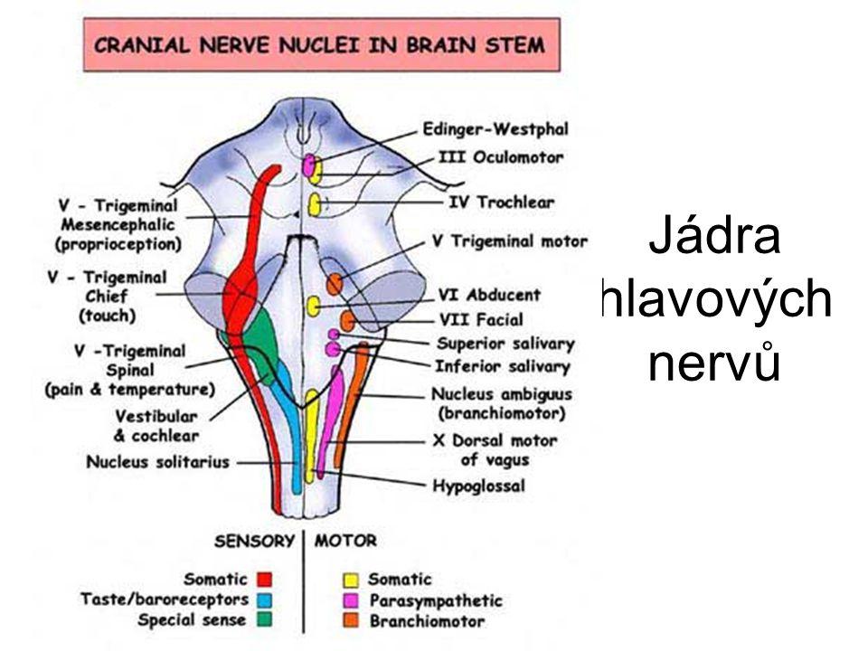 Jádra hlavových nervů