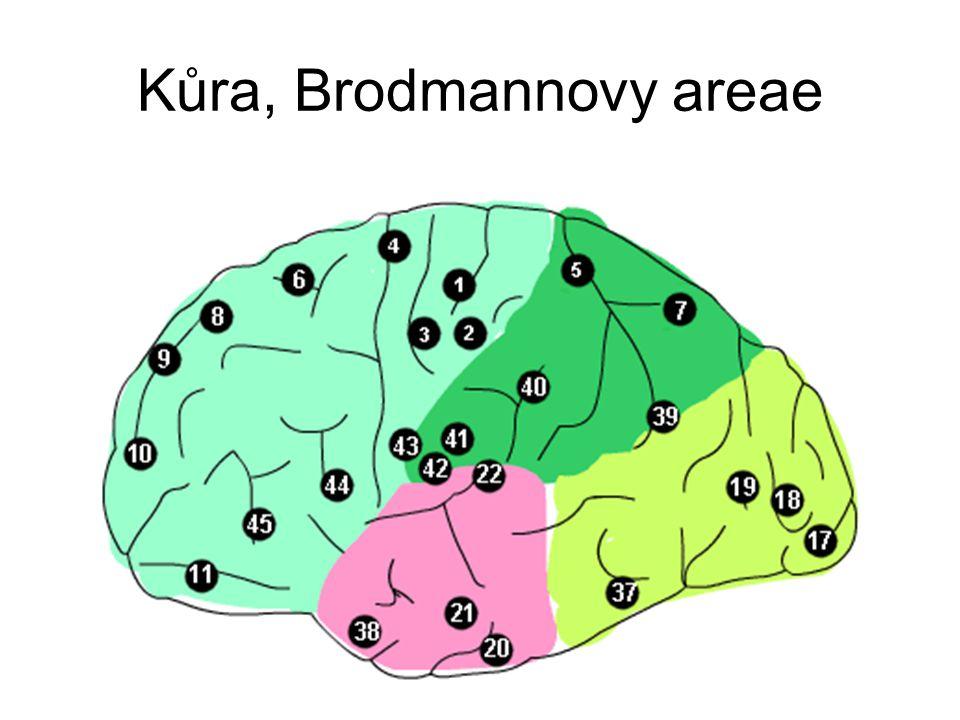 Kůra, Brodmannovy areae