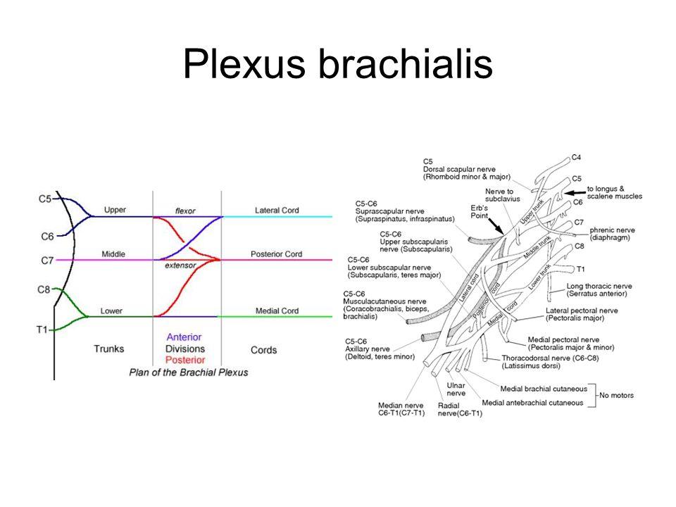 Plexus brachialis