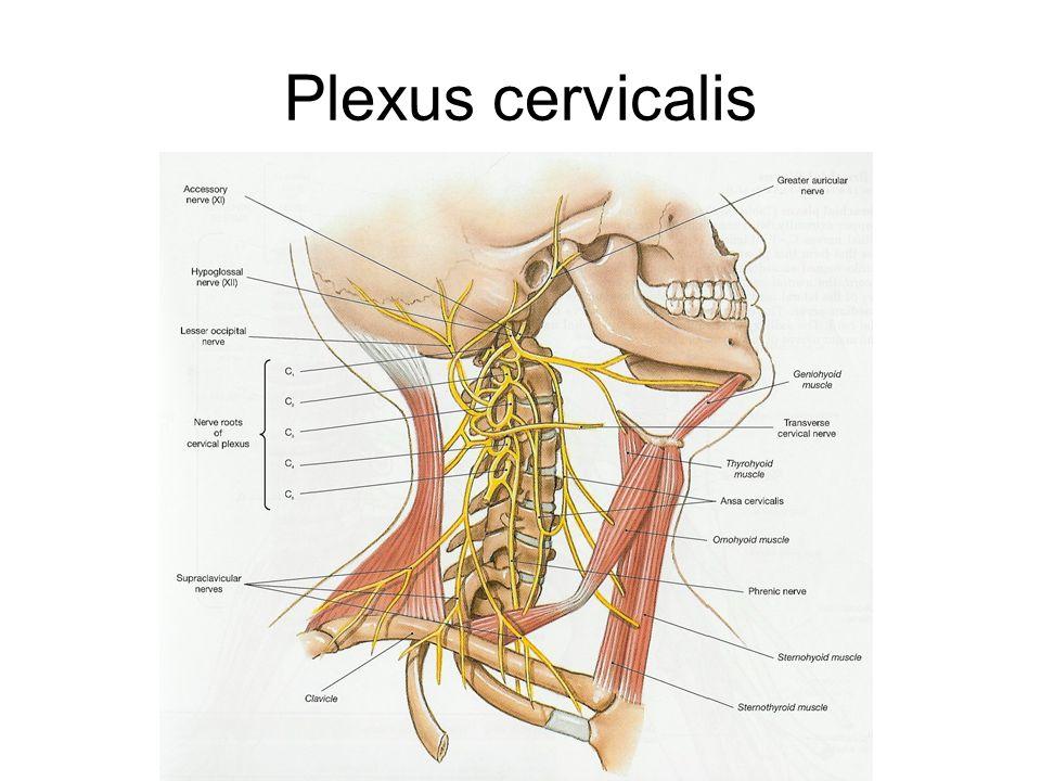 Niedlich Plexus Cervicalis Anatomie Fotos - Menschliche Anatomie ...