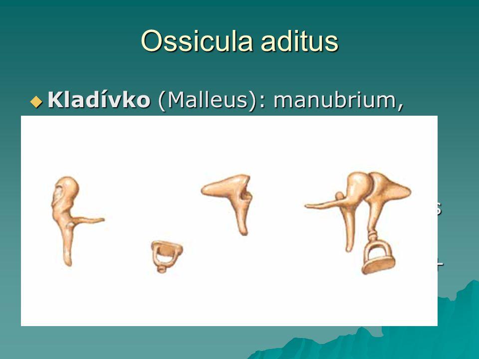 Ossicula aditus Kladívko (Malleus): manubrium, caput, collum, processus lateralis + anterior.