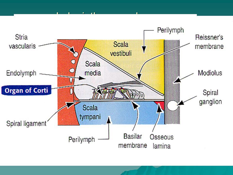 Labyrinthus membranaceus Labyrinhtus cochlearis