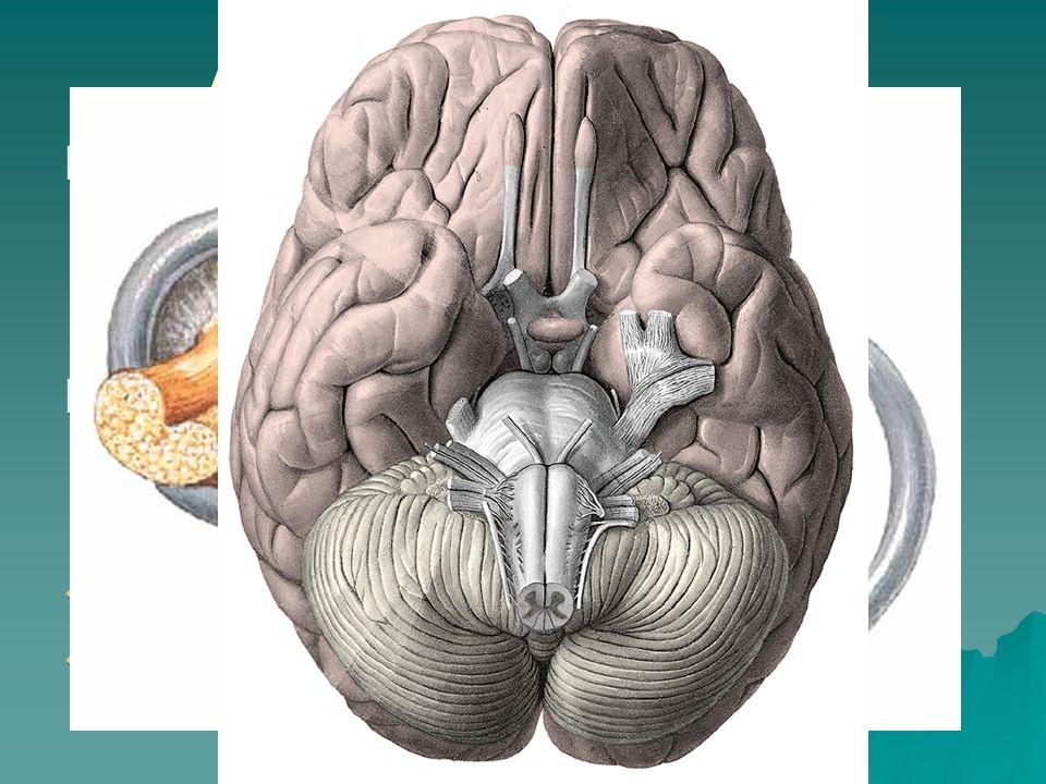 Auris interna - nerves Nervus vestibularis Nervus cochlearis
